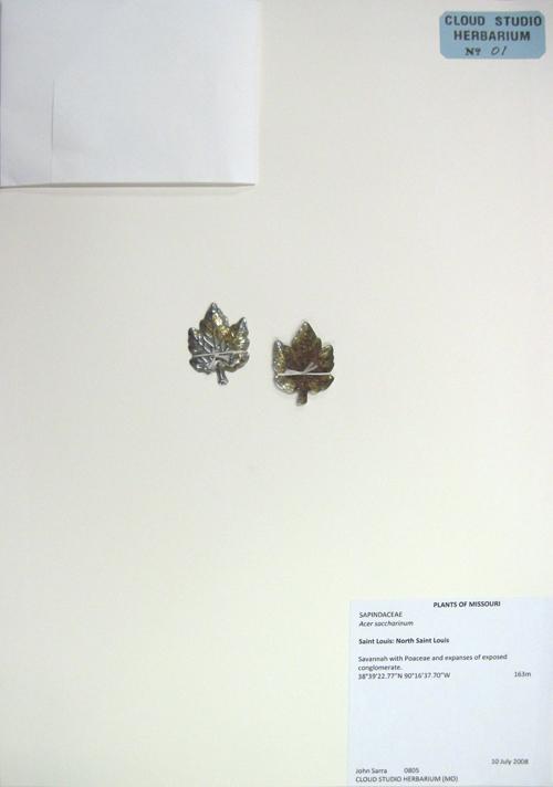 SAPINDACEAE, Acer saccharinum