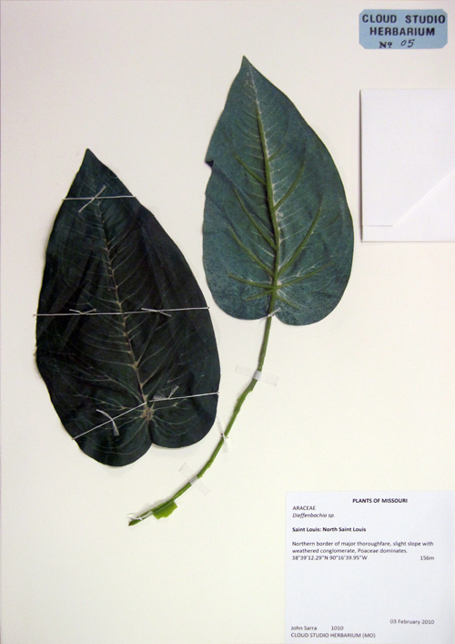 ARACEA, Dieffenbachia sp.