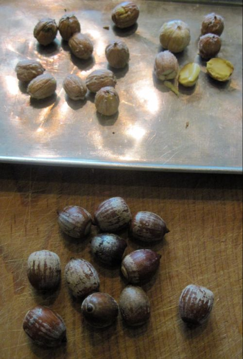 Chinkapin Oak (Quercus muehlenbergii) acorns, shelled and unshelled